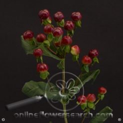 Hypericum Magical Red Wine 70 cm (or same color)