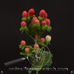 Hypericum Magical Majestic Pink 70 cm (or same color)