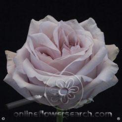 Rose Sweet4Love 50/60 cm