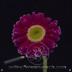 Gerbera Purple Select