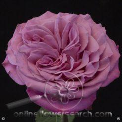 Rose Queens Crown 50 cm