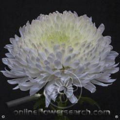Chrysanthemum Cremon Magnum Select