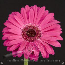 Gerbera Hot Pink Select