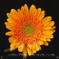 Gerbera Orange Select