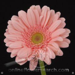 Gerbera Pink Select