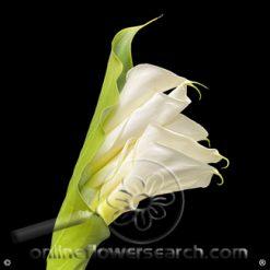 Calla White Cotopaxi Cascade with Leave 80-90 cm ECUADOR