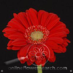 Gerbera Red Select