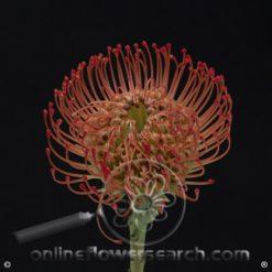 Protea Pincushion Red 50 cm