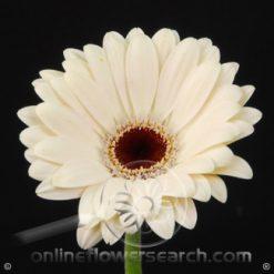 Gerbera White Select