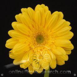 Gerbera Yellow Select