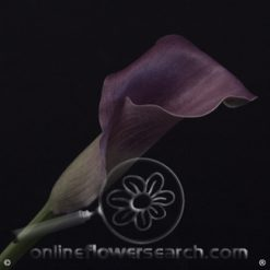 Mini Calla Purple Star 40-45 cm