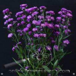 Aster Astee Pink/Purple 80 cm