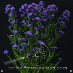 Aster Astee Blue/Purple 80 cm