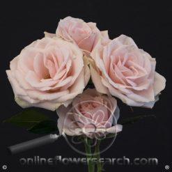 Spray Rose Phuket 50 cm