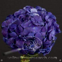 Hydrangea Select Purple