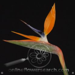 Birds of Paradise Super Select