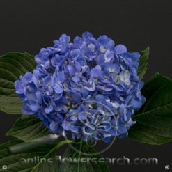 Hydrangea Select Shocking Blue