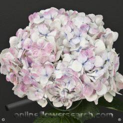 Hydrangea Jumbo Pink Antique - White