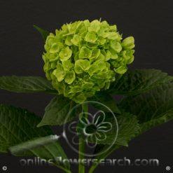 Hydrangea Mini Mojito Green