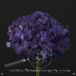 Hydrangea Premium (Designer) Purple - a larger head vs regular White Hydrangea