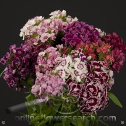 Dianthus Sweet William Assorted Color Select