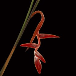 Tropical Heliconia She Kong