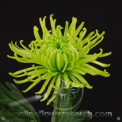 Chrysanthemum Anastasia Spider Green Select