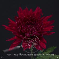 Chrysanthemum Cremon Red Select